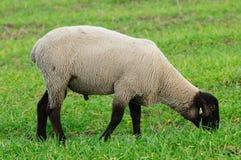 纵向绵羊 免版税库存照片