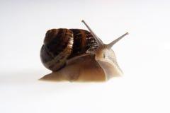 纵向蜗牛 库存照片