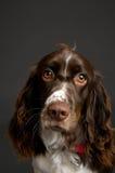 纵向西班牙猎狗蹦跳的人 免版税库存照片