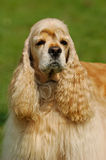 纵向西班牙猎狗 免版税库存图片