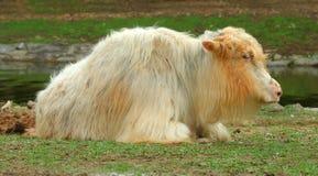 纵向西藏人牦牛 免版税库存照片