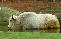 纵向西藏人牦牛 库存照片