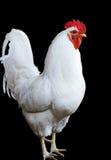 纵向雄鸡白色 免版税图库摄影