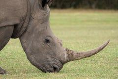 纵向rhinocerous白色 图库摄影