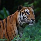 纵向sumatran老虎 免版税库存照片