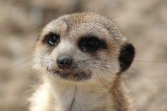 纵向suricate 免版税库存图片