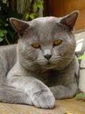 纵向Tomcat 免版税库存照片