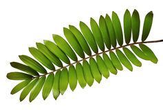 纸板棕榈或在白色背景或者墨西哥苏铁科的植物叶子隔绝的泽米属furfuracea 免版税库存图片