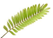 纸板棕榈或泽米属furfuracea或者墨西哥苏铁科的植物叶子,在白色背景隔绝的热带叶子,与裁减路线 图库摄影