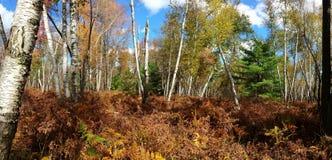 纸皮桦在马里E 溪自然地区-宾夕法尼亚 免版税库存照片