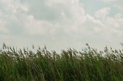 纸莎草和天空 库存照片