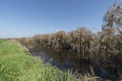 纸莎草植物丛林在内盖夫加利利 库存照片