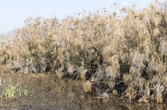 纸莎草植物丛林在内盖夫加利利 图库摄影