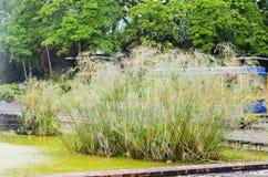 纸莎草植物,在有背景喷泉的一个池塘有美丽黄绿的和橙色 图库摄影
