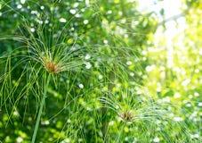 纸莎草绿色plant5 库存照片