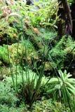 纸莎草莎草属纸莎草是Osok家庭的一棵草本四季不断的植物 免版税图库摄影