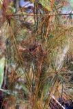 纸莎草莎草属纸莎草是Osok家庭的一棵草本四季不断的植物 免版税库存图片