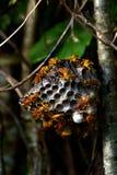 纸质黄蜂在拉罗通加库克群岛 免版税库存照片