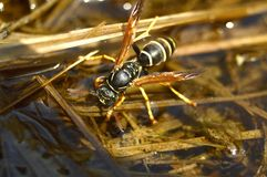 纸质黄蜂饮用水 免版税图库摄影