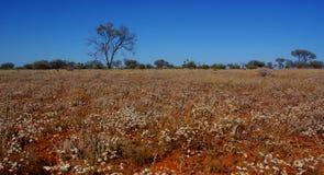 纸雏菊的领域在澳大利亚沙漠 图库摄影