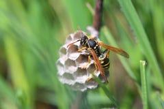 纸质黄蜂修造巢 库存照片
