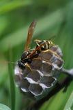 纸质黄蜂修造巢 免版税库存图片