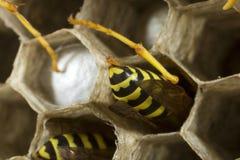 纸质黄蜂在他们的巢的工作 免版税库存照片