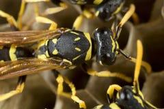 纸质黄蜂在他们的巢的工作 免版税库存图片