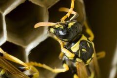 纸质黄蜂在他们的巢的工作 库存照片