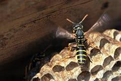 纸质黄蜂坐巢 库存照片