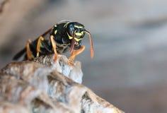 纸质黄蜂坐巢 免版税库存图片