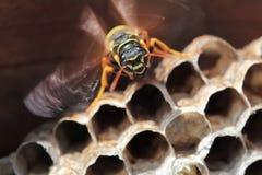 纸质黄蜂坐细胞巢 库存照片