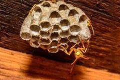 纸质黄蜂Polistes种类 图库摄影