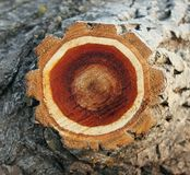 纹理切片树干白杨树 免版税库存图片