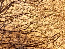 纹理在树藤阳光下在墙壁边砖房子的 图库摄影