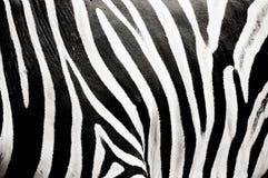 纹理斑马 库存图片