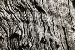 纹理橄榄树木头 库存图片