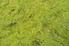 纹理海藻 库存照片