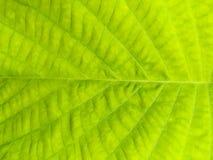 纹理的绿色叶子表面 免版税图库摄影