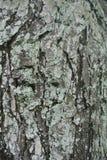 纹理老木头在森林里 库存图片