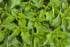纹理荨麻植物'Urtca'年轻绿色荨麻背景 库存照片