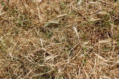 纹理,干燥被割的草背景  免版税库存照片