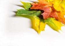 纹理,背景 槭树离开红色和金子黄色树荫  库存照片