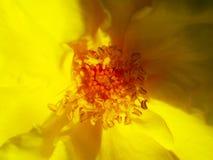 纹理 在太阳关闭的黄色玫瑰花瓣 库存照片