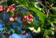 纺锤莓果 图库摄影