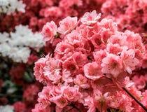 纽约中央公园樱花 库存照片