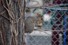 纽约人灰鼠 库存图片