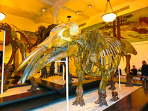 纽约,美利坚合众国- 2016年5月01日:在美国博物馆的Dinossaur Fossile模型自然 免版税库存图片