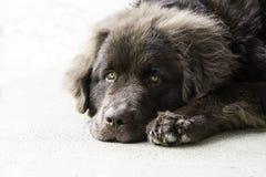 纽芬兰小狗放下 免版税库存照片