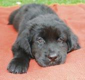 纽芬兰小狗 库存照片